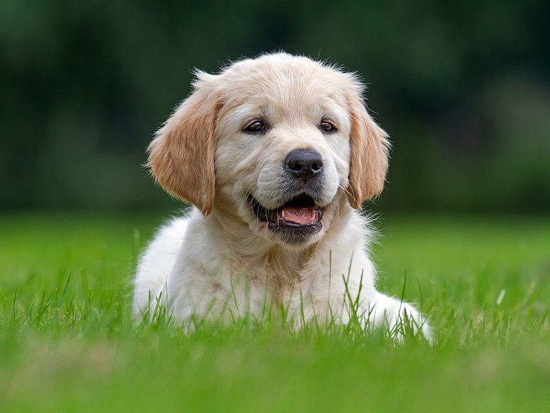 puppy from Wikimedia commons
